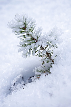 Close-up of pine leaves in snow