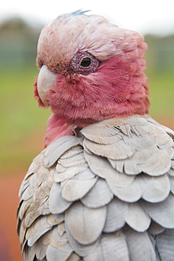 Close-up of galah outdoors