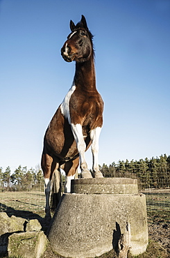 Portrait brown and white horse standing on well covering on sunny farm