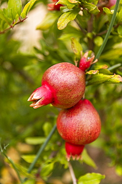 Close up organic pomegranate growing on branch