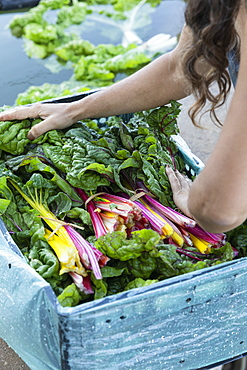 Woman harvesting fresh rainbow chard