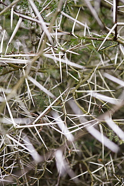Thorny branch, close-up