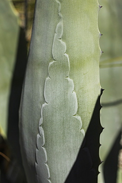 Close up pattern on green cactus leaf, Melbourne, Victoria, Australia