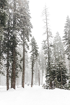 Snow covered trees, Yosemite National Park, Yosemite, California, USA