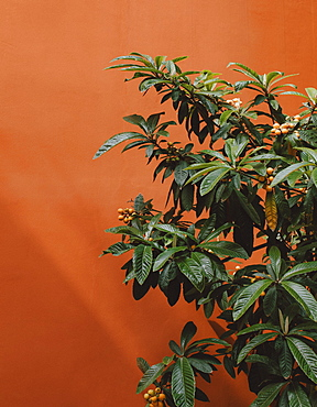 Close up berries growing on bush against orange wall