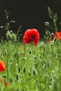 Red poppy growing in sunny field