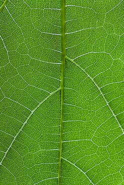 Extreme close up vibrant green veined leaf
