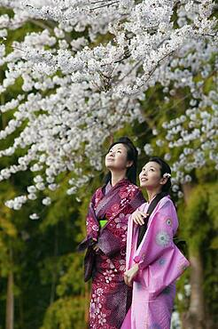 Beautiful young women in Japanese kimonos below cherry blossom branches - 1177-4268