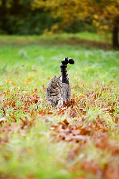 Tabby cat walking on grass and autumn leaves