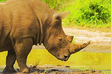 White rhinoceros (Ceratotherium simum) in a forest, Motswari Game Reserve, South Africa