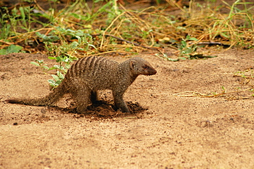 Banded mongoose (Mungos mungo) digging in a forest, Chobe National Park, Botswana