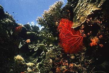 Gorgonian Sea Fan (Subergorgia mollis) underwater, Palau