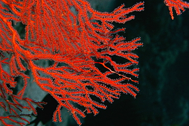 Close-up of a Gorgonian Sea Fan (Subergorgia mollis) underwater, Milne Bay, Papua New Guinea