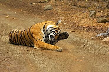 Tigress (Panthera tigris) lying on the dirt road and rubbing her eyes, Ranthambore National Park, Rajasthan, India