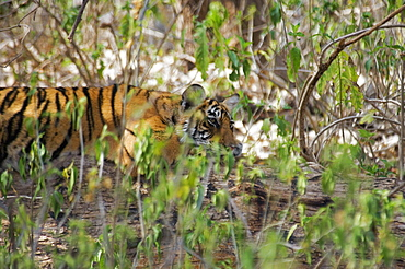 Tiger (Panthera tigris) cub in a forest, Ranthambore National Park, Rajasthan, India