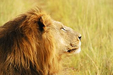 Close-up of a lion (Panthera leo), Okavango Delta, Botswana