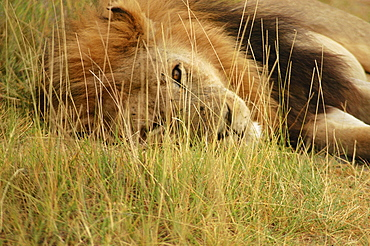 Close-up of a lion (Panthera leo) lying in a forest, Okavango Delta, Botswana