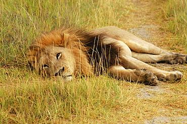 Lion (Panthera leo) lying in a path, Okavango Delta, Botswana