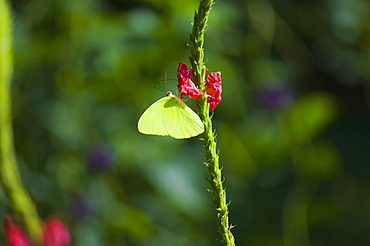 Close-up of a Lyside Sulphur (Kricogonia lyside) butterfly pollinating a flower