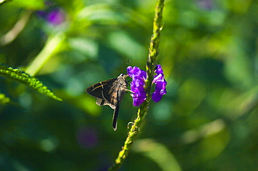Close-up of a Long-tailed Skipper (Urbanus Proteus) butterfly pollinating a flower