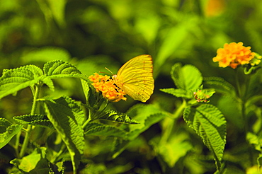 Close-up of a Cloudless Sulphur (Phoebis Sennae) butterfly pollinating a flower