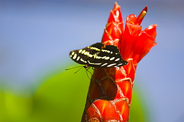 Close-up of a Mexican Catone (Catonephele Mexicana) butterfly pollinating a flower