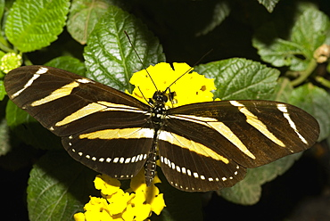 Close-up of a Zebra Longwing butterfly (Heliconius charitonius) pollinating a flower