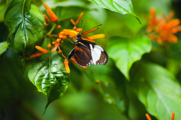 Close-up of a Cydno Longwing (Heliconius Cydno) butterfly pollinating flowers