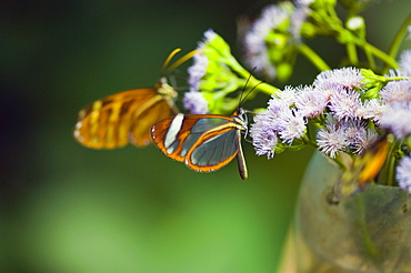 Close-up of three Glasswing (Greta Oto) butterflies pollinating flowers
