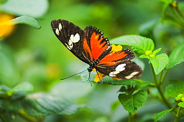 Close-up of a Doris butterfly (Heliconius Doris) on a plant
