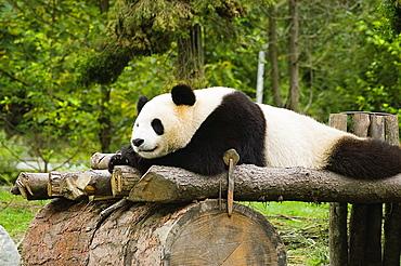 Close-up of a panda (Alluropoda melanoleuca) resting on a wooden platform