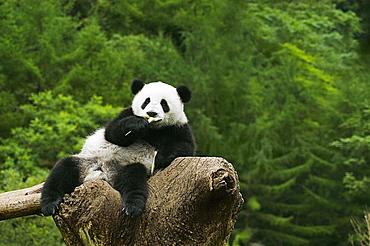 Close-up of a panda (Alluropoda melanoleuca) resting on a tree stump