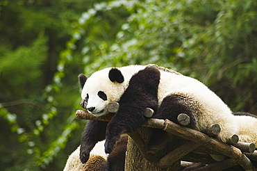 Panda (Alluropoda melanoleuca) resting on a wooden structure