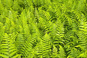 High angle view of ferns, Akaka Falls State Park, Big Island, Hawaii islands, USA