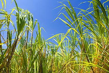 Sugarcane plants in a field, Akaka Falls State Park, Hilo, Big Island, Hawaii Islands, USA
