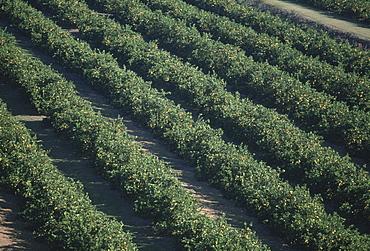 Aerial of orange groves, Florida