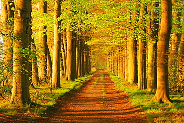 Trees on the both sides of a country road, Netherlands