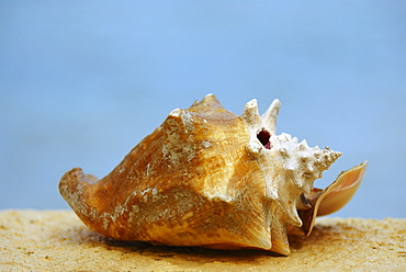 Close-up of a conch shell, Providencia y Santa Catalina, San Andres y Providencia Department, Colombia