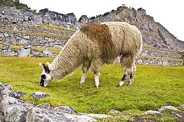 Llama (Lama glama) grazing near old ruins of buildings, Machu Picchu, Cusco Region, Peru