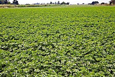Potato crop in a field, Ica, Ica Region, Peru