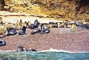 Group of seals on the coast, Ballestas Islands, Paracas National Reserve, Paracas, Ica Region, Peru