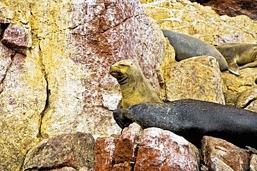 Close-up of four seals resting on rocks, Ballestas Islands, Paracas National Reserve, Paracas, Ica Region, Peru