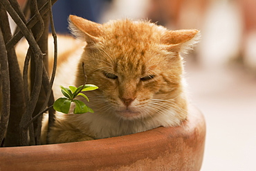 Close-up of a cat sleeping in a potted plant, Vernazza, La Spezia, Liguria, Italy