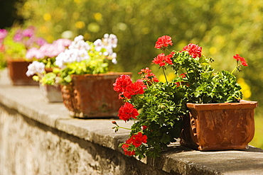 Potted plants on the wall, Sorrento, Sorrentine Peninsula, Naples Province, Campania, Italy
