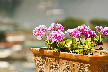 Close-up of potted plant, Sorrento, Sorrentine Peninsula, Naples Province, Campania, Italy