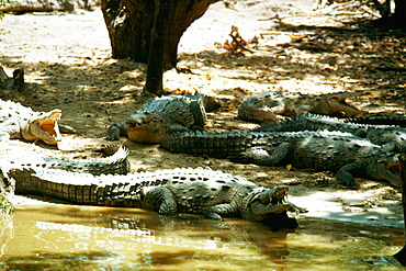 Alligators are sun bathing on an Alligator Farm, Jamaica