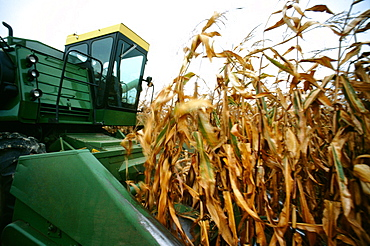 Closeup of combine cutting thru corn on Henry farm in Clinton county, OH