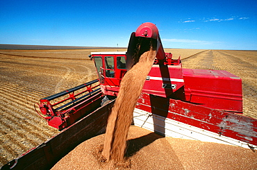 Close-up of a red combine loading wheat into the truck, clear blue sky in the background, Burlington, Colorado