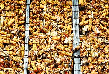 Closeup of corn in crib in Clinton County , OH
