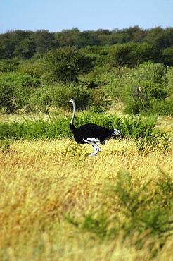 Ostrich (Struthio camelus) standing in a dry grass field, Kalahari Desert, Botswana